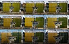 Suivi photographique de deux réacteurs de microalgues sous conditions solaires. Le réacteur de gauche est une culture carencée en azote qui devient jaune et accumule des lipides pouvant être convertis en biocarburant; le réacteur de droite...