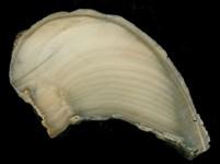 Cette photo montre la coupure transversale d'une coquille fossile de la famille de bénitiers géants Tridacnidae. Le polissage de la surface met en évidence une succession de bandes ou dépôts de croissance. La bonne préservation de ces fossiles, permet...